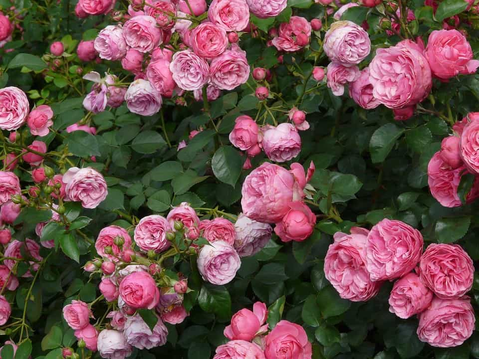 Plant Some Shrubs And Enjoy The Benefits Of Gardening
